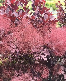Winecraft Black, Purple Smoke Bush, Purple Smoke Tree Proven Winners Sycamore, IL