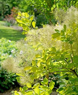 Winecraft Gold Smoke Bush, Cotinus Coggygria, Gold Foliage Proven Winners Sycamore, IL