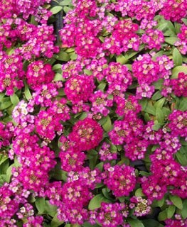 Wonderland Alyssum, Deep Rose The National Gardening Association ,