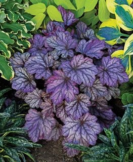 Dolce 'blackberry Ice' Heuchera, Coral Bells, Purple Foliage Proven Winners Sycamore, IL