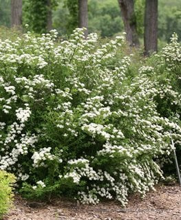 Wedding Cake Spirea, Spiraea Nipponica, Flowering Shrub Proven Winners Sycamore, IL