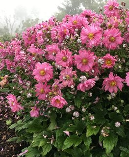 Fall In Love Sweetly Anemone, Pink Flowers, Anemone Hybrid Proven Winners Sycamore, IL