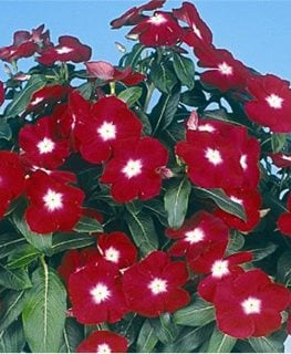 Jaio Dark Red Vinca, Annual Vinca Flower, Red And White Flower All-America Selections Downers Grove, IL