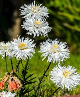 Crazy Daisy Shasta Daisy, Leucanthemum Superbum Alamy Stock Photo Brooklyn, NY