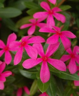 Soiree Kawaii Pink Vinca, Vinca Flower, Hot Pink Flower Proven Winners Sycamore, IL