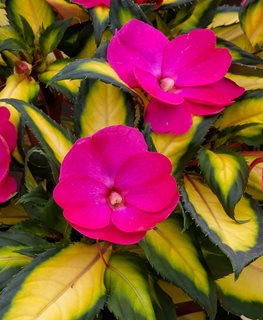 Sunpatiens Tropical Rose, Pink Flower, Variegated Foliage Proven Winners Sycamore, IL