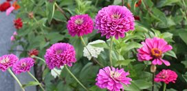 Multi Colored Zinnias, Zinnia Flowers Johnsen Landscapes & Pools Mount Kisco, NY