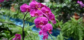 Purple Orchid, Orchid Show United Sates Botanic Washington D.C., DC