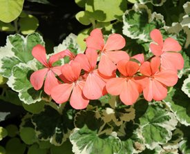 Pelargonium 'Frank Headley'