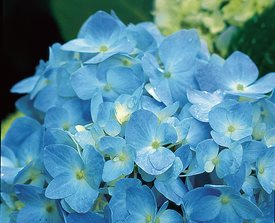 HYDRANGEA MACROPHYLLA ENDLESS SUMMER™