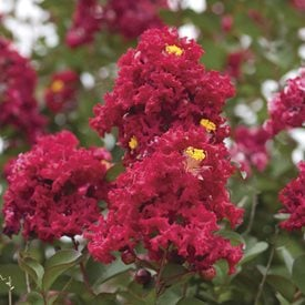 Lagerstroemia indica 'Dynamite'