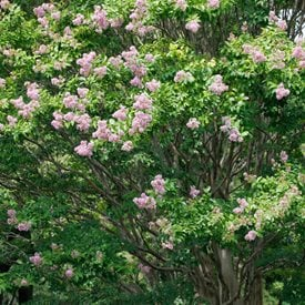 Lagerstroemia indica xfauriei 'Muskogee'