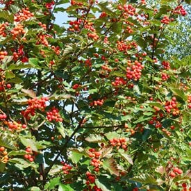 Chinese hawthorn
