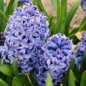 Hyacinths growing and care of hyacinth flowers garden design hyacinthus orientalis delft blue mightylinksfo