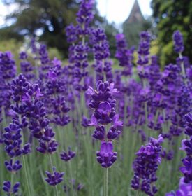 Lavender Keeps Mosquitoes Away