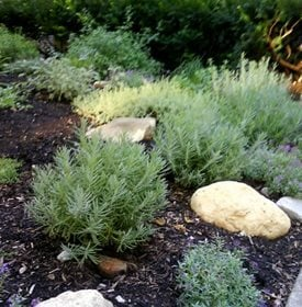 Rosemary Keeps Mosquitoes Away