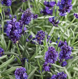 lavender deters mosquitoes