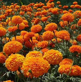 marigolds keep mosquitoes away