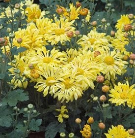 <em>Chrysanthemum</em> 'Yellow Starlet'