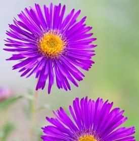 'Helen Picton' aster - Photo by: Richard Bloom.