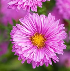 'Patricia Ballard' aster - Photo by: Richard Bloom.