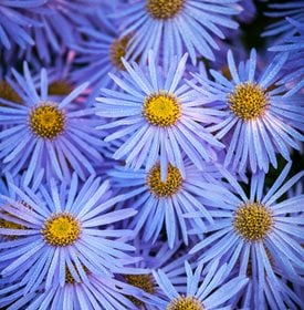 'Mönch' aster - Photo by: Richard Bloom.