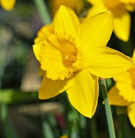 Narcissus 'Dutch Master'