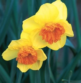 Narcissus 'Modern Art'