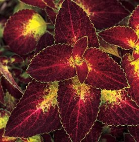 ColorBlaze Dipt in Wine Coleus - Photo by: Proven Winners.