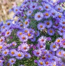 'October Skies' aster - Photo by: Clive Nichols.