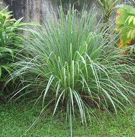 Mosquito Repellant Citronella Grass