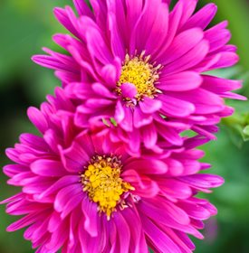 'Carnival' aster - Photo by: Richard Bloom.