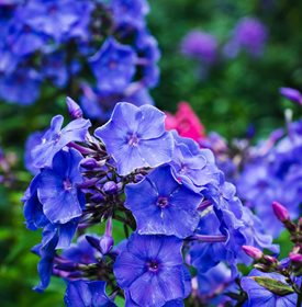 P. paniculata 'Blue Paradise' - Photo by: Andrew Pustiakin / Shutterstock.