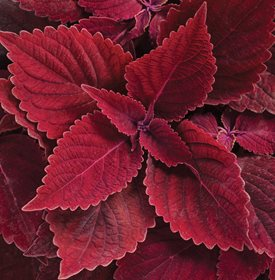 ColorBlaze Rediculous Coleus - Photo by: Proven Winners