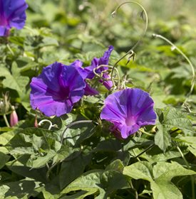 Ipomoea purpurea - Common morning glory - alybaba/Shutterstock