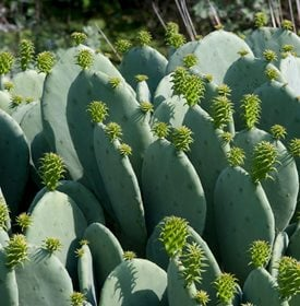 Opuntia cacanapa 'Ellisiana' Spineless prickly pear - Garden World Images, Ltd / Alamy Stock Photo.