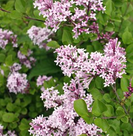 Syringa meyeri 'Palibin - Photo by: Ilona5555 / Shutterstock.
