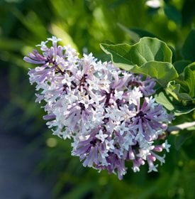 Syringa puvescens - 'Miss Kim' - Photo by: Garden World Images Ltd