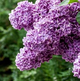 Syringa vulgaris - Common Lilac - Photo by: Radim Beznoska
