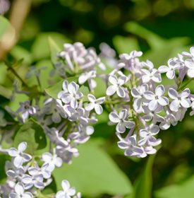 Syringa vulgaris - 'Madame Lemoine' - Photo by: Maxal Tamor