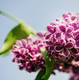 Syringa vulgaris - 'Sensations' - Photo by: Maria Evseyeva
