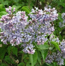 Syringa vulgaris - 'Wedgewiid Blue' - Photo by: Garden World Images, Ltd.