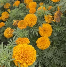 Tagetes erecta 'Moonsong Deep Orange' - ESB Essentials / Shutterstock.