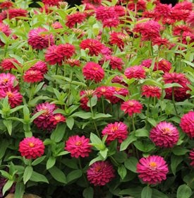 Zinnia marylandica 'Double Zahara Cherry' - All America Selections.