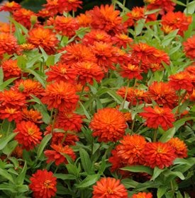 Zinnia marylandica 'Double Zahara Fire' - All America Selections.