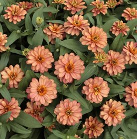 Zinnia 'Profusion Double Deep Salmon' - All America Selections.