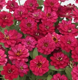 Zinnia 'Profusion Double Hot Cherry' - All America Selections.