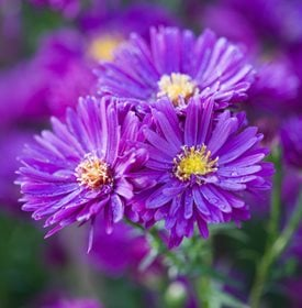 'Purple Dome' aster - Photo by: Richard Bloom.