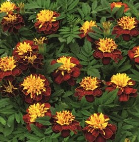 Tagetes patula Super Hero Spry - All-America Selections