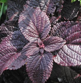 ColorBlaze Dark Star Coleus - Photo by: Proven Winners.
